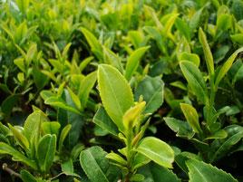 茶葉アップ、鹿児島産