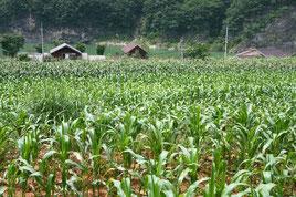 韓国とうもろこし畑