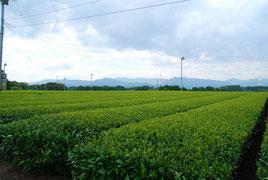 鹿児島茶畑、鹿屋お茶