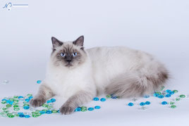 На фото: Баллада Кошка Моего Сердца