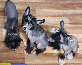Продам щенка китайской хохлатой Днепропетровск