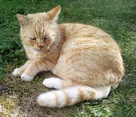Katze mit rotem Fell liegt auf grüner Wiese