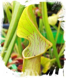 Schlauchpflanze Sarracenia Rubra