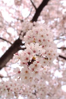 桜が咲くのが待ち遠しいね♪