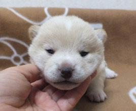 志乃の子犬白柴♀の画像