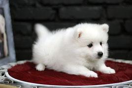 японскй шпиц, щенок, купить из питомника