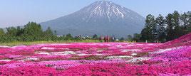 倶知安 三島さんの芝桜庭園