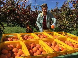 岐阜県で富有柿の収獲