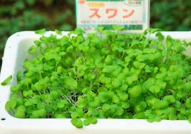 小かぶ 種まき10日目(間引き)