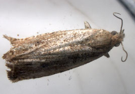 Bactra sp.