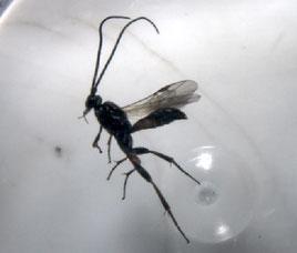Parasitoide evolucionat de Bactra