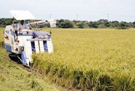 コンバインによって刈り取られていく1期米の稲=20日午前、石垣市名蔵