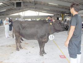 畜産共進会で審査を受ける牛=4日午前、八重山家畜セリ市場