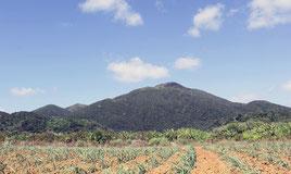サトウキビ畑からの於茂登岳。八重山は絶好のロケ地として期待される(石垣市役所提供=共同)
