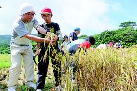 稲刈りの実習をする越来小5年生の子ども=16日午前、川平地区