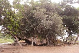 大浜の崎原公園近くにある「津波大石」。太古から八重山に襲来した複数回の津波の影響を受けた可能性があるという(21日午後)