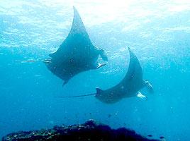 八重山近海を悠々と泳ぐマンタ=八重山ダイビング協会提供写真