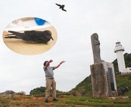 御神崎で放鳥されたアナドリ