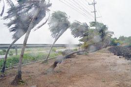 台風9号の強風を受け、しなる木々=10日、石垣市川原
