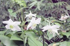 一面の緑に純白の花を浮かび上がらせるアマゾンユリ=3日午後、バンナ公園ホタル街道