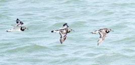 石垣島の海岸を飛翔するキョウジョシギ3羽。猛スピードで飛び去った=13日