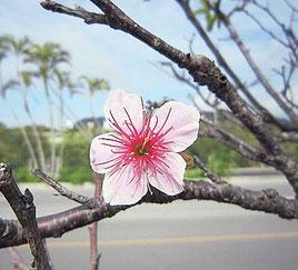 新川公園で開花したヒカンザクラ=6日(石垣島気象台提供)