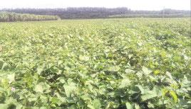 石垣市の紅いも畑。農家の生産意欲は高く、新加工施設整備に向けた取り組みが進んでいる(資料写真)