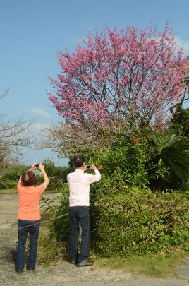 ドライバーの目を引くカンヒザクラ。青空の下、薄着の森夫妻が感激した様子で写真を撮っていた=川平、30日午前
