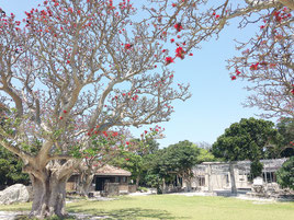 満開に咲き乱れる世持御嶽のデイゴ=3月29日、竹富島