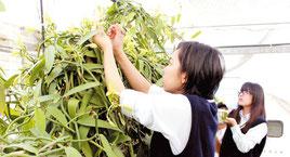 八重農アグリリサーチ部がバニラ授粉作業に取り組んだ=26日午前、八重山農林高校