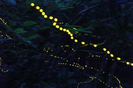 闇夜に点滅するヤエヤマホタル=4日夜、於茂登岳の登山道入り口手前