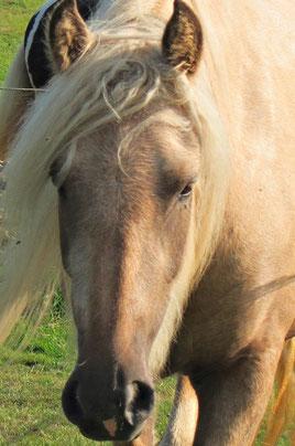 Deutlich sichtbare Kuhlen über den Augen bei einem ca. 3-jährigen Pferd! Zu der Zeit litt sie an einem Magengeschwür - heute sind die Kuhlen verschwunden.