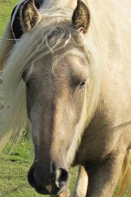 Deutliche Kuhlen über den Augen, die weder zum Alter (hier 3 jährig) noch zum Typ des Pferdes passen.