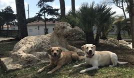 Asiatischer Laubholzbockkäfer, Capricorne asiatique, Tarlo asiatico cani