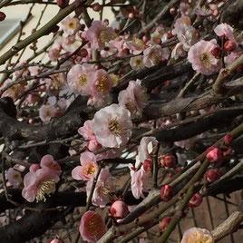 ▲梅が咲いていたよ。