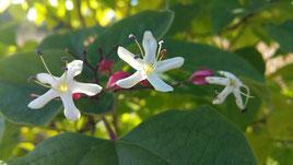fleurs de clérodendron