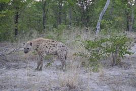 Botswana, Moremi Nationalpark, Hyänen