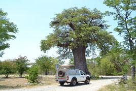 Botswana, Gweta, Baobab, Planet Baobab Camp