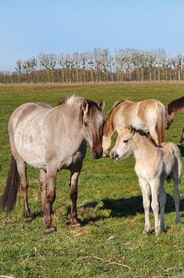 Wildpferde beobachten in der Prignitz, Urlaub mit Pferd und Hund