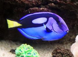 Cada año se capturan de los arrecifes de coral unos 400.000 peces cirujano azul, encarnados por Dory en Buscando a Nemo y la secuela Buscando a Dory.  Foto: (cc) Wikipedia.org