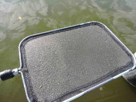 Ein Netz voller Plankton (Daphnia galeata = gelber Wasserfloh)