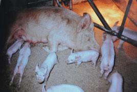 ウランバートルの養豚場(1986年3月)
