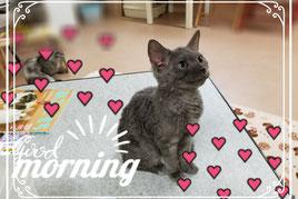 セルカークレックス子猫の激安販売【関東・埼玉 猫の部屋セイワ】ブリーダーから直接お迎えで、安心・安い!