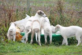 Scottish Deerhound & Barsois in Rheinland/Pfalz! Muntere Barsoi Welpen im Garten..., unser G-Wurf 10 Wochen alt!