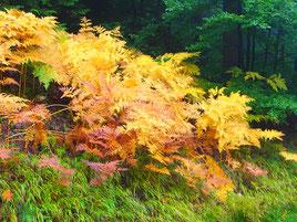 leuchtende Farngräser begrenzten die Waldränder