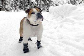 Un bouledogue anglais blanc et marron debout dans la neige porte des bottines de protection aux pattes par coach canin 16 éducateur canin en charente