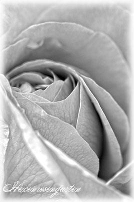 Rosenblog Hexenrosengarten  Rosiger Adventskalender Rose Mme Boll Portlandrose schwarz-weiß