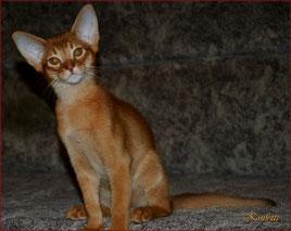 Купить абиссинского котенка