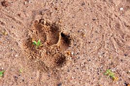 Hyänen Spuren im Sand neben unserem Fahrzeug