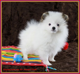 Pomeranian Hündin Eisprinzessin von der Arnold's Eiche
